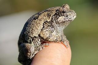 tree frog 4